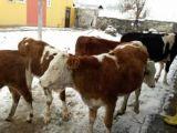 Kars'tan Uygun Kaliteli Dana Düve Temin Edilir