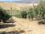 manisa salihli de 63.500 m2 2.200.ağaç trile zeytinlik 1.135.000 tl