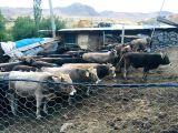 Kars Hayvan Pazarından uygun fiyatlara Hayvan temini Hanifi Güneş Kars Güneş