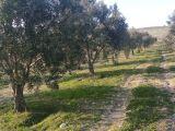 albayrak dan akhisar da 4 500 m2 trile zeytin bahçesi 69 000 tl