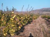 albayrak dan 8 yaşında ayva nar kiraz bahçesi 150 dönüm 1 800 000 tl