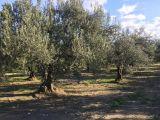 ALBAYRAK DAN akhisar da satılık 9 500 m2 asvalt kenarı zeytinlik 148 000 tl