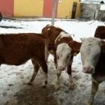 Kars Hızır Hayvancılık